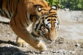 Bengala tiger outdoor portrait walking, nature wildlife poster