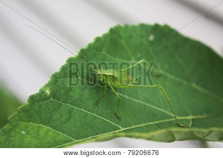 Katydid on Green Leaf
