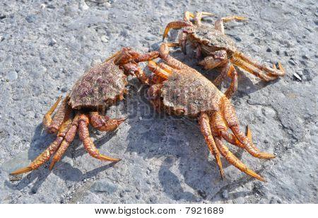 Kamchatkas King Crabs