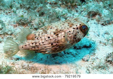 Long-spined Porcupinefish