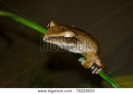Yellow Frog On Leaf