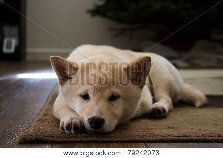 Puppy relaxing on carpet