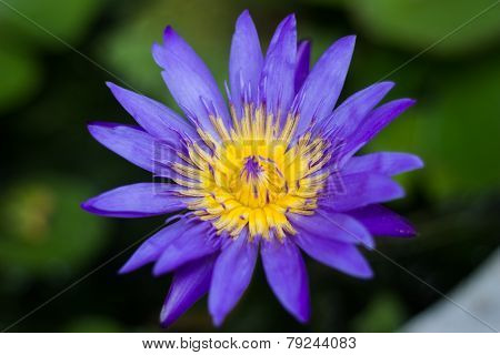 Violet Blossom Lotus In Fishbowl