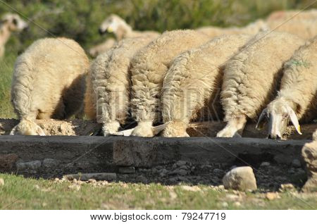 Spent with his flock of sheep grazing. Quenching thirst at the watering hole. poster