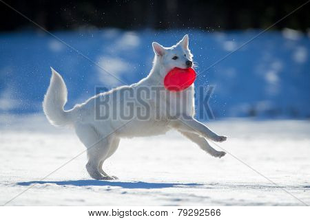 White dog playing on snow with frisbee in his mouth.