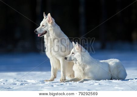 Two white dogs on winter background, outdoor.