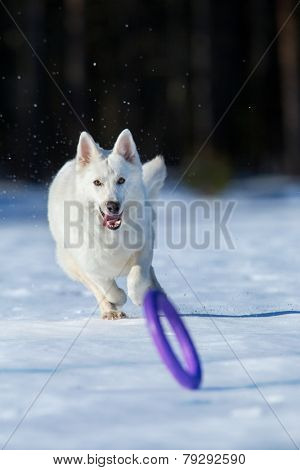 White dog running after a frisbee in wintertime