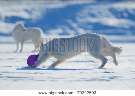 Two white dogs playing frisbee on winter background.