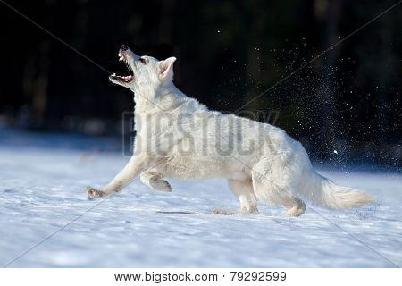 White Swiss shepherd dog running in winter.