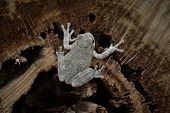 Grey Tree Frog poster