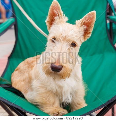 Cute serious  Wheaten dog Scottish Terrier breed