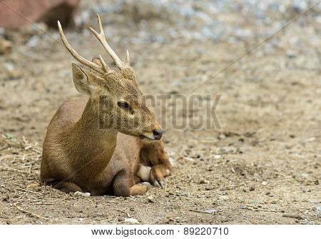 Baby Deer Was Relaxing On Ground
