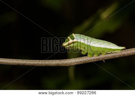 Caterpillar Of Five Bar Swordtail Butterfly (antiphates Pompilius)