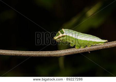 Caterpillar Of Five Bar Swordtail Butterfly (antiphates Pompilius)