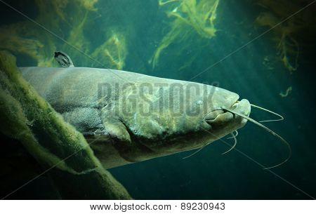 Underwater photo of The Catfish (Silurus Glanis). Biggest predatory fish in European lakes and river.