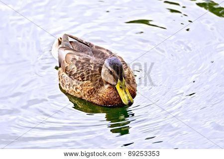 Duck wild in the pond water