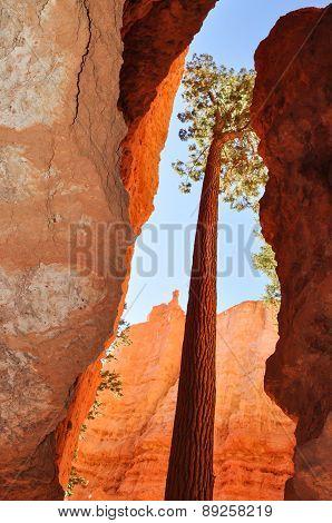 Trees Bryce Canyon National Park Utah, Estados Unidos poster