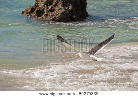 Gull Stealing Penguin Egg