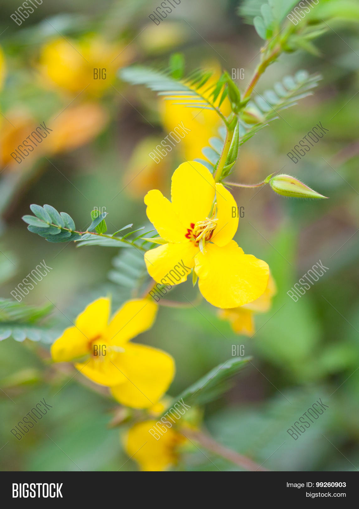 Partridge Pea Flower Image Photo Free Trial Bigstock