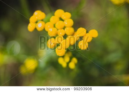 Tansy is widely used in folk medicine cosmetics and cooking. Useful properties of tansy is used in the pharmaceutical chemical and food industries. Tansy flowers are collected at certain times harvested and stored.