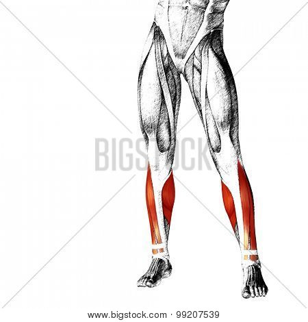 Concept or conceptual 3D adductor longus human lower leg anatomy or anatomical and muscle sketch isolated on white background poster