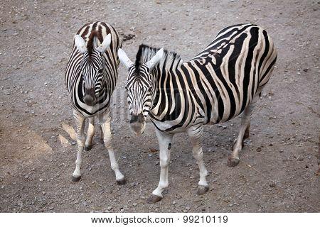 poster of Burchell's zebra (Equus quagga burchellii), also known as the Damara zebra. Wild life animal.