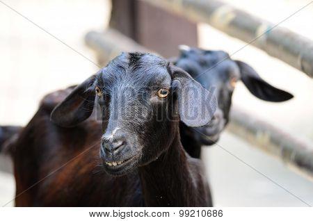 Black Sheep Stand close together, Do wonders
