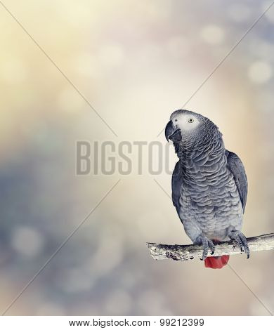 African Grey Parrot Perches On A Branch