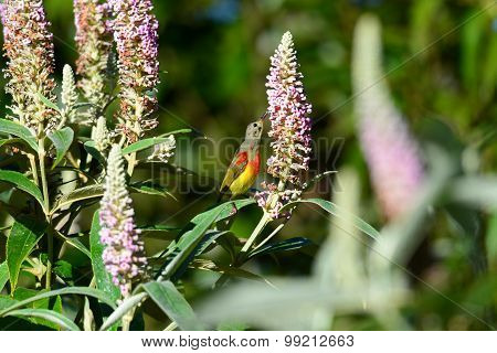 Bird Name Is Mrs Gould's Sunbird , Bird On Flower , Yummy!