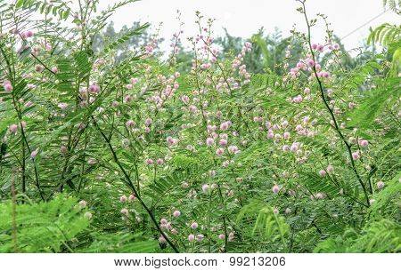 Giant sensitive tree (Mimosa pigra)