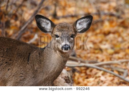 Young White-Tail