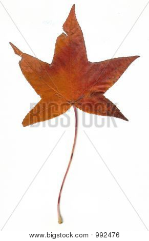 Orange Fall Leaf