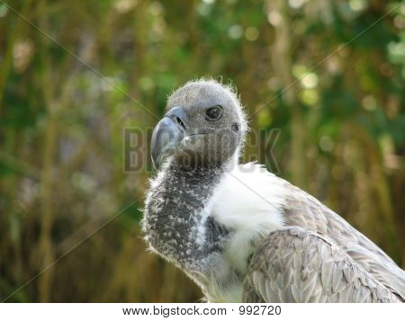 young african white backed vulture gyps africanus poster