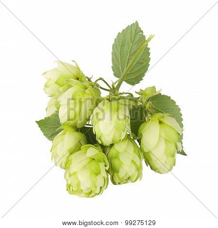 Cones And Leaves Of The Plants Hops