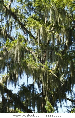 Large Group Of Spanish Moss Plants In A Cypress Tree