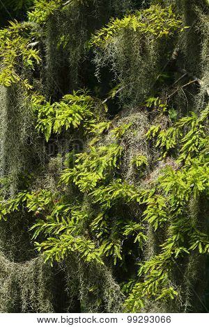Spanish Moss Hanging In A Cypress Tree Close Up