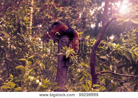 Red Panda sitting alone in a tree