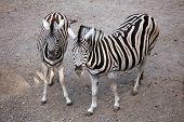Burchell's zebra (Equus quagga burchellii), also known as the Damara zebra. Wild life animal.  poster