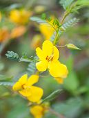 Partridge Pea Flower (Chamaecrista fasciculata) growing in a field poster