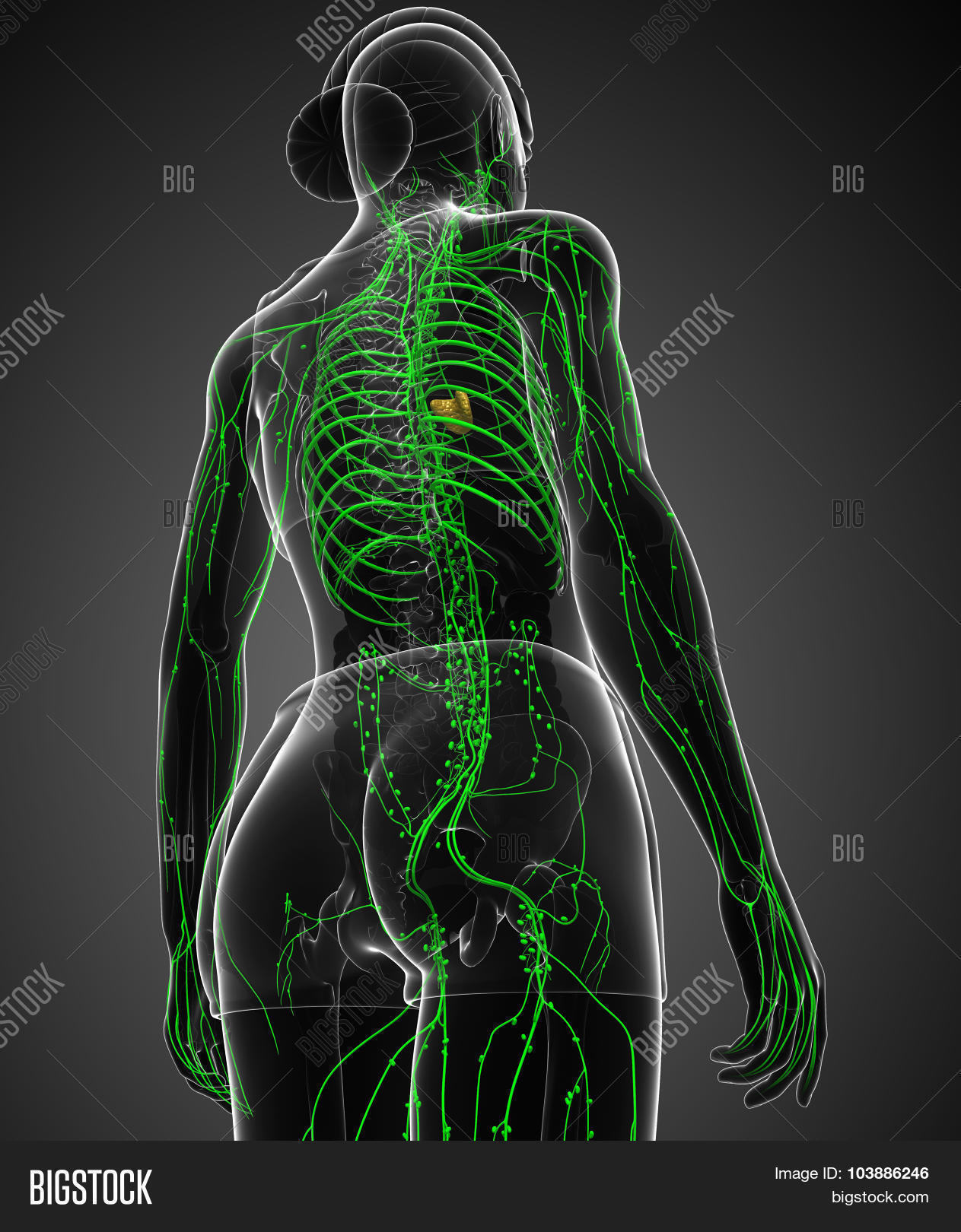 Lymphatic System Image Photo Free Trial Bigstock