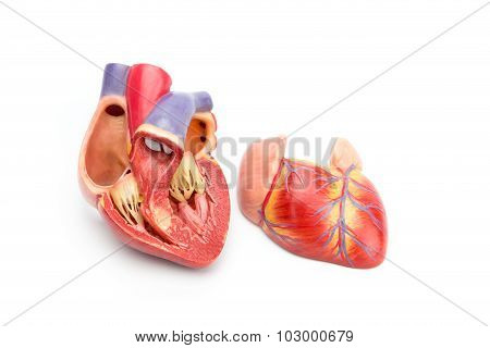 Open Model Of Human Heart Showing Inside