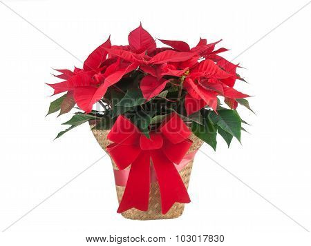Red Poinsettia Christmas Plant Isolated On White Background