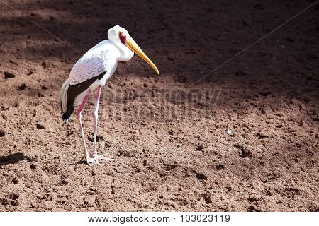 Yellow-billed Stork Stork Bird