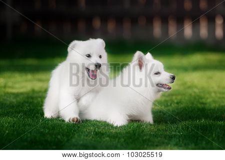 White Swiss Shepherds puppy