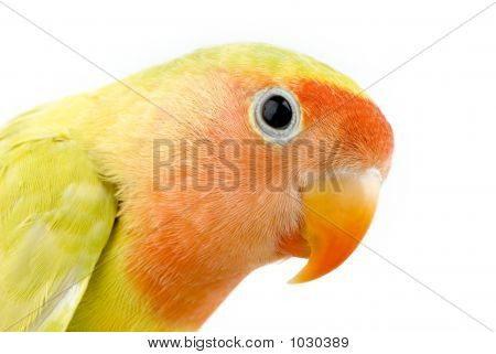 love bird in front of a white background poster
