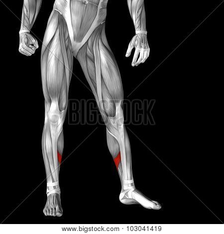 Concept or conceptual 3D adductor longus human lower leg anatomy or anatomical and muscle isolated on black background poster