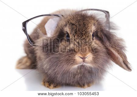 Front view of a cute lion head rabbit bunny wearing glasses on his head.