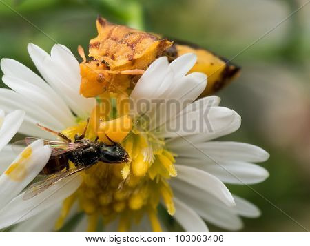 Yellow Ambush Bug Eats Wasp on white aster poster