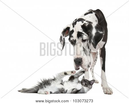 Maine coon kitten playing with a harlequin Great Dane (4 years) in front of a white background poster