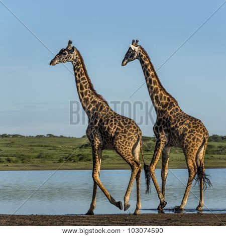 Two Giraffes walking by a river, Serengeti, Tanzania